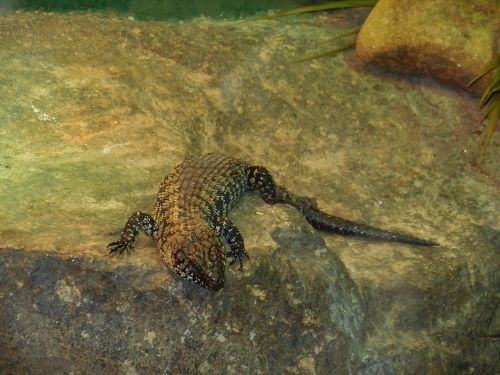 lizard terrestrial lizard black lizard