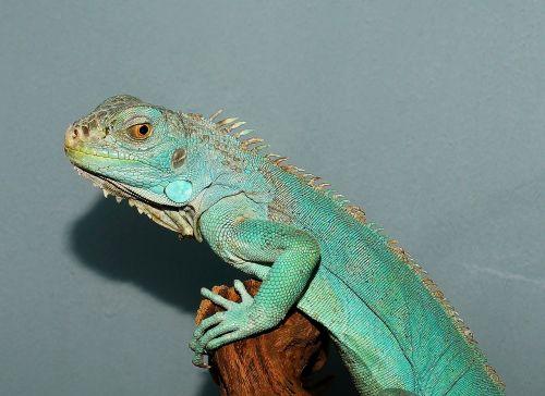 lizard portrait close
