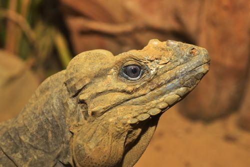 lizard urzeittier scale