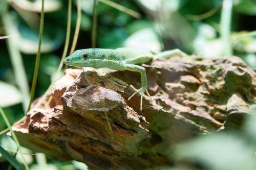lizard reptile animal