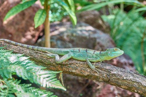 lizard reptile fast