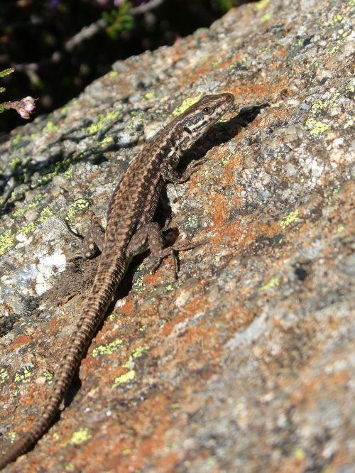 lizard lizard iberian rock