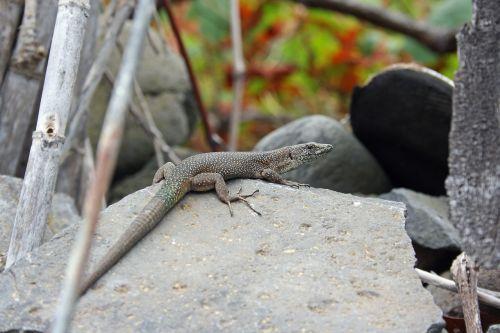 lizard madeira nature