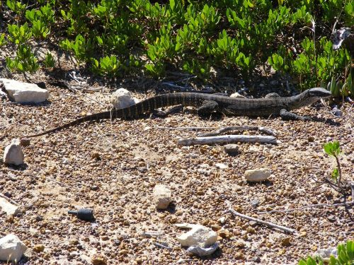 lizard reptile scaly