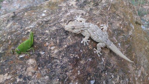 lizard  reptilia  animalia