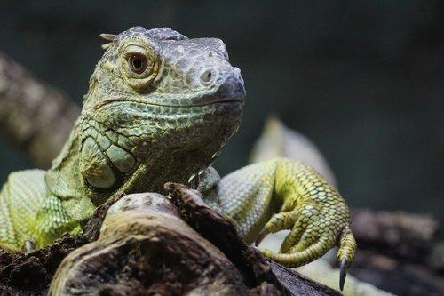 lizard  bearded dragon  reptile