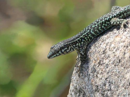 lizard  green  rock