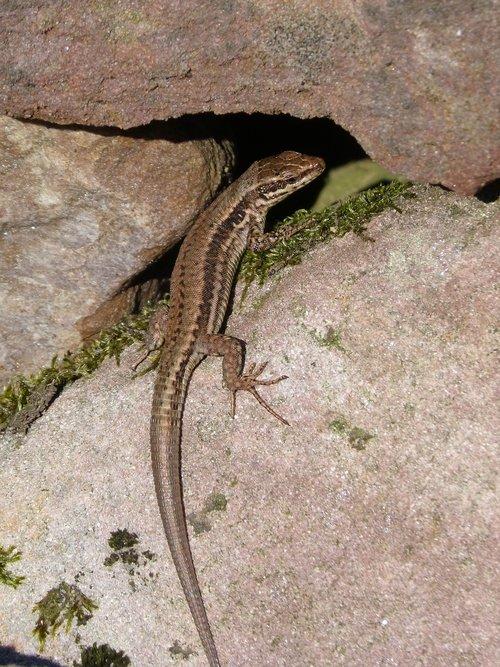 lizard  reptile  rocks