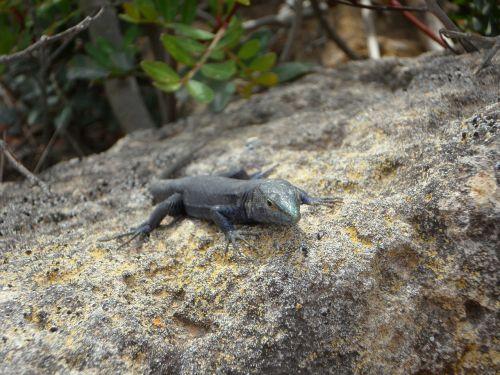 lizard endemic cabrera