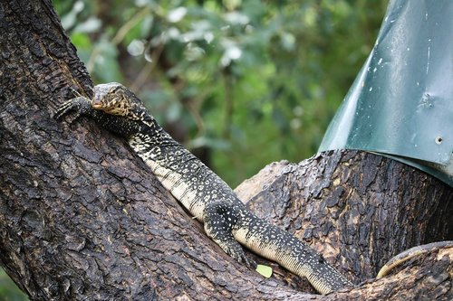 lizard  tree  monitor lizard