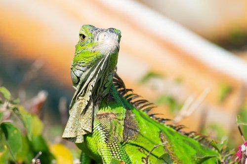 lizard  dragon  florida