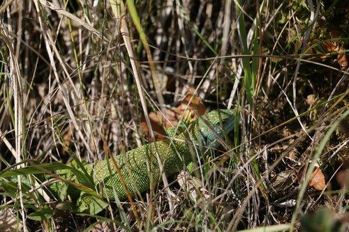lizard  occelé  lozère