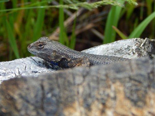 lizard  fence lizard  western fence lizard