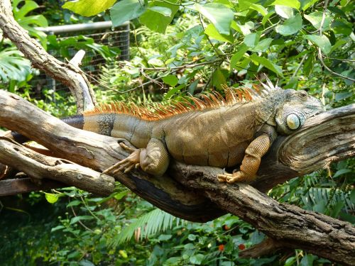 lizard iguana reptile