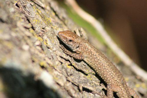lizard animal marron