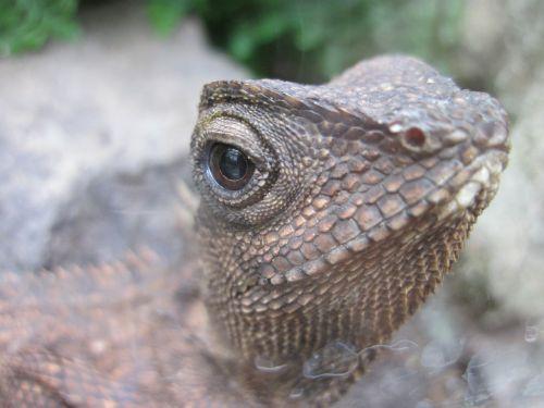 lizard eye reptile