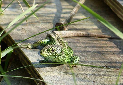 lizard reptile green