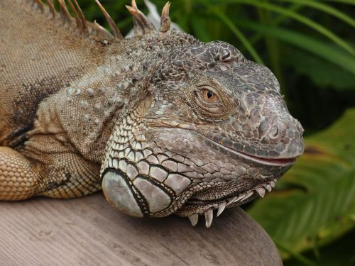 lizard dragon iguana