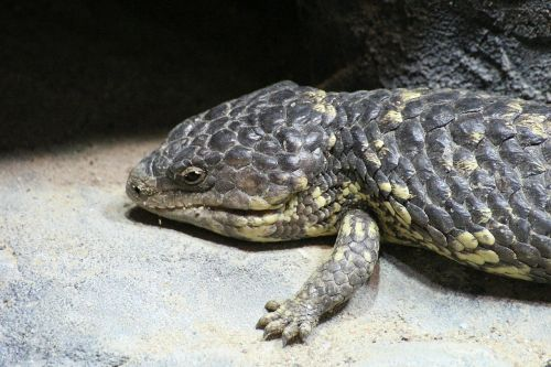 lizard reptile pinecone lizard
