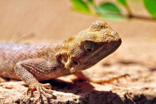 lizard reptile macro