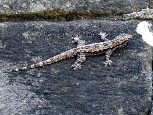 lizard wall pierre