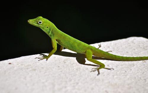 lizard rainforest natural