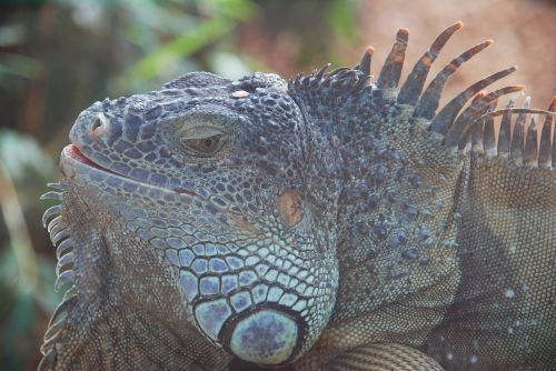 lizard reptile loropark