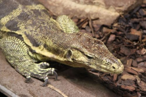 lizard,animals,reptile,animal,free photos,free images,royalty free