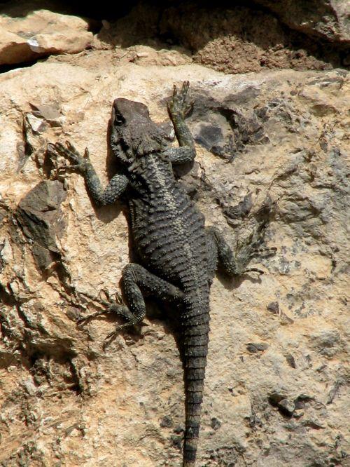 lizard cyprus reptile