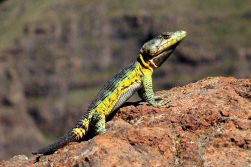 lizard rock macro