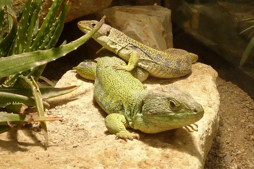 lizard timon lepidus reptile