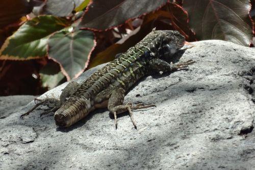 lizard tail short