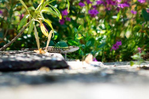 lizard stare animal
