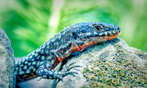 lizard nature reptile
