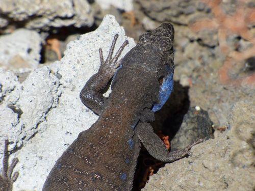 lizard blue-cheeked canaries
