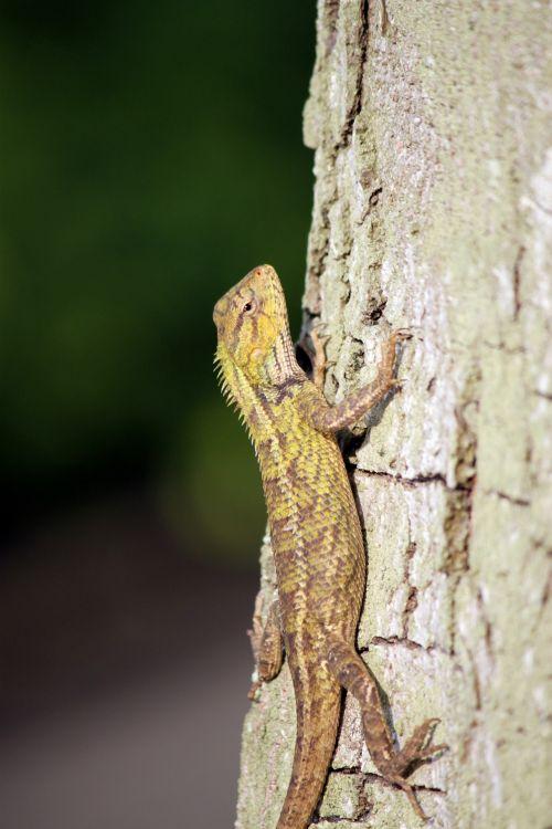 driežas & nbsp, galva & nbsp, uždaryti & nbsp, aukštyn & nbsp, medį, driežas & nbsp, akys, uždaryti & nbsp, Driežinė galvutė uždaroma ant medžio