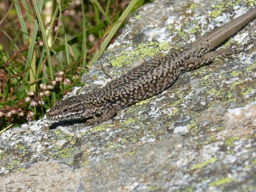 lizard iberian rock lichens