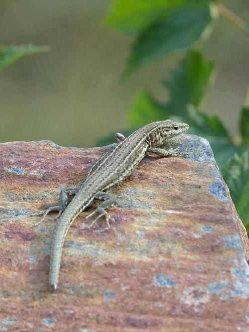 lizard iberian lizard sargantana