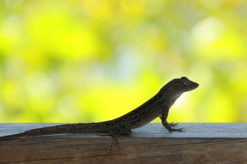lizard in the lens lizard florida