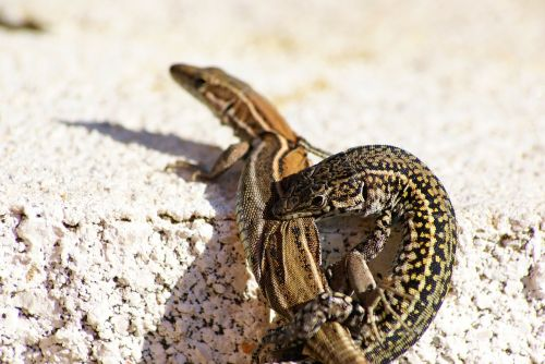 lizards reptiles cold blooded animals
