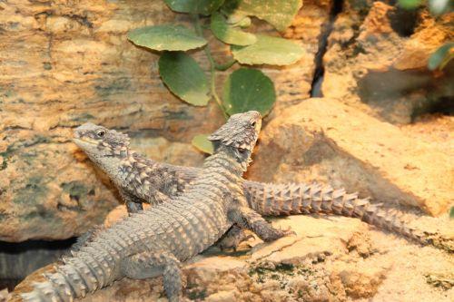 lizards reptile iguanas