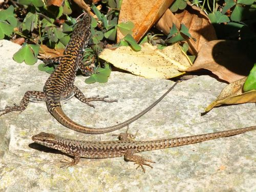 lizards,sun,reptile,animal,animal world,nature