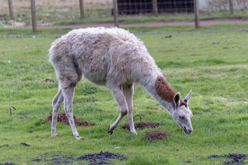 llama animal mammal