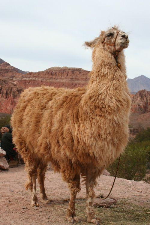 llama near cachi argentina