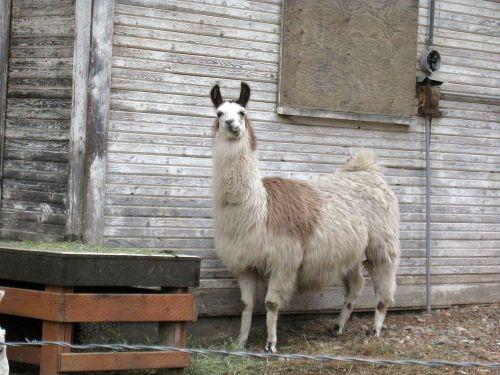 llama light llama banana ears