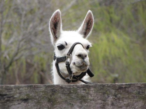 llama animal petting zoo