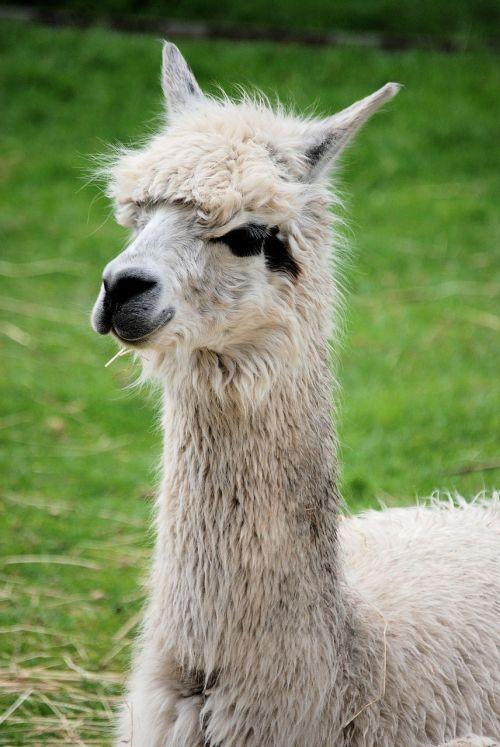 llama mammal fluffy