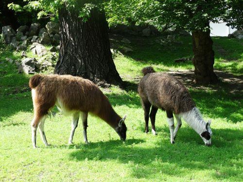 llama animal zoo