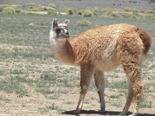 llama animal peru