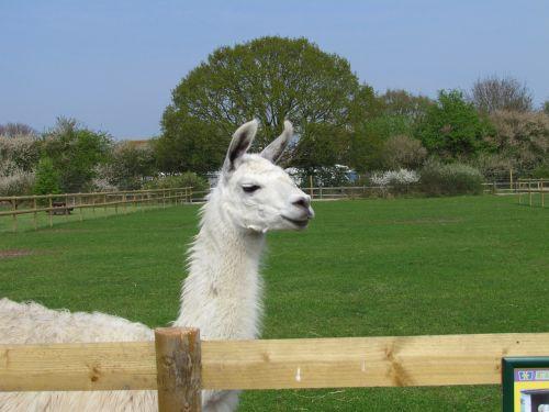 llama nature animal